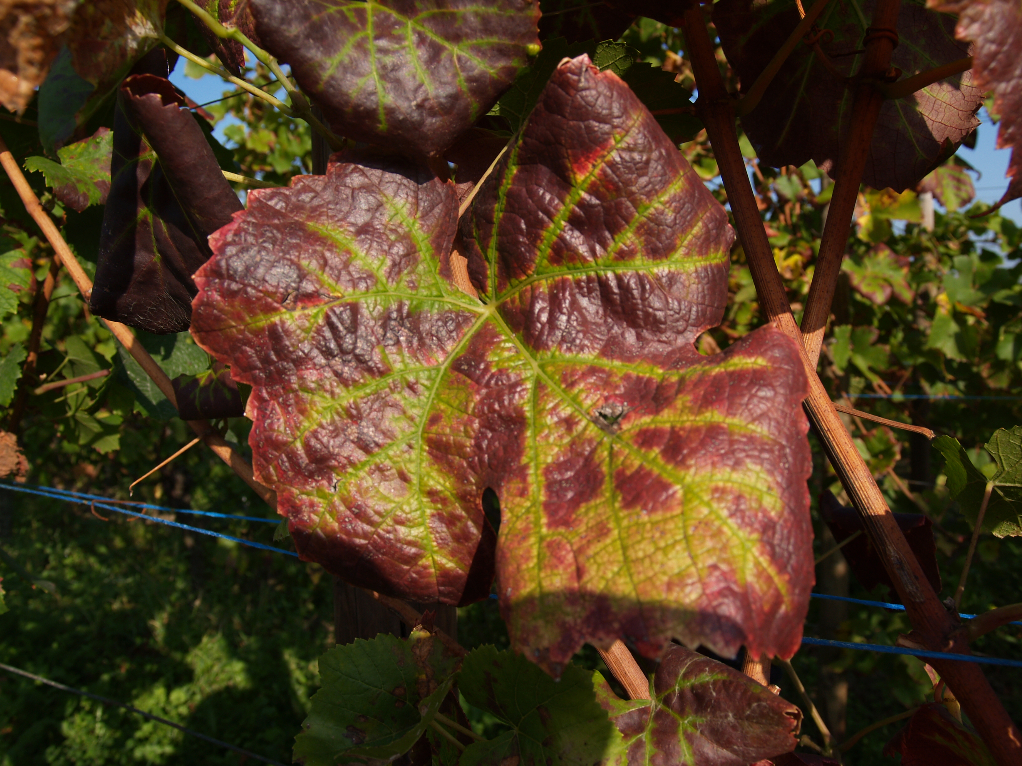 Enroulement, Grapevine leafroll associated virus (Foto:Herrbach, INRA)